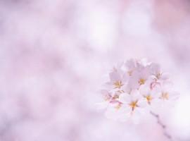 20_Sakura-Flower